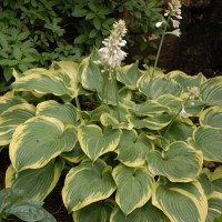 Hosta 'Earth Angel' photo courtesy of Walters Gardens