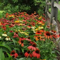 Echinacea 'Cheyenne Spirit' photo courtesy of Ball Horticultural