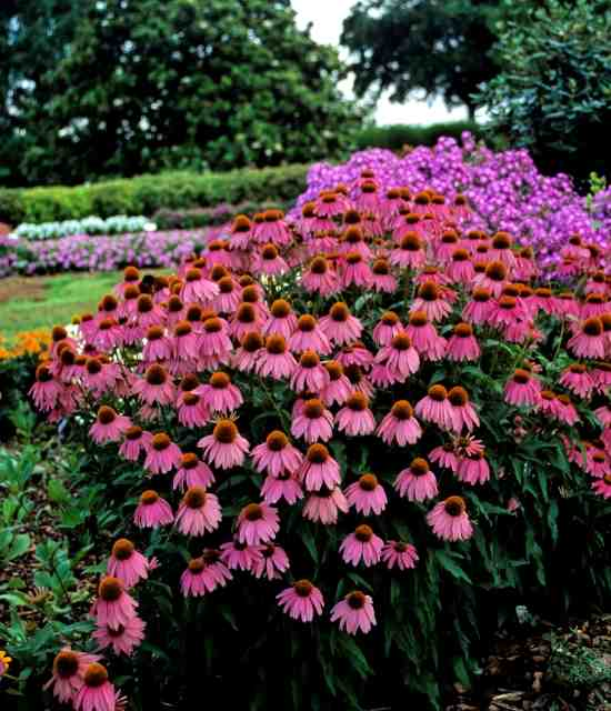 Echinacea purpurea 'Red Knee High' photo courtesy of Chris Hansen