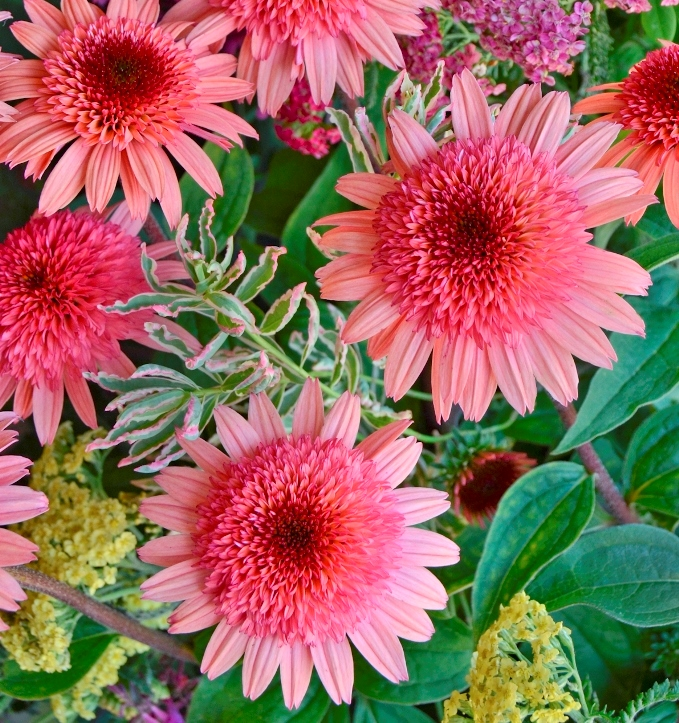 photo of Echinacea 'Raspberry Truffle' courtesy of Walters Gardens