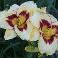 Daylily 'El Desparado' Photo courtesy of Walters Gardens
