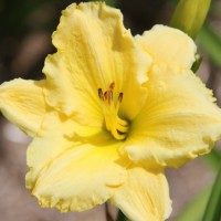 Daylily 'Embroidery Plus' photo Whitehouse Perennials Nursery and Display Gardens