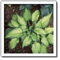 Hosta 'Emerald Ruff Cut' Photo courtesy of Q and Z Nursery