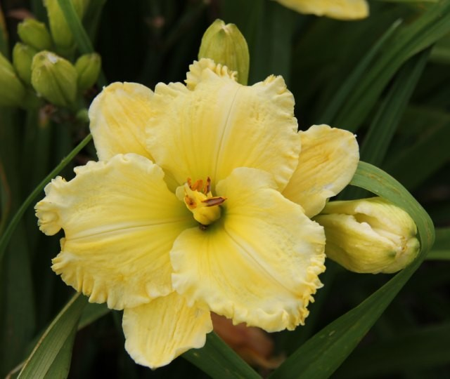Daylily 'Emperor's Choice' Photo Whitehouse Perennials Nursery and Display Gardens