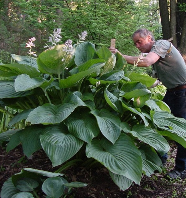 Hosta 'Empress Wu' photo courtesy of Walters Gardens