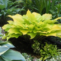 photo of Hosta 'Enduring Beacon' courtesy of Naylor Creek Nursery