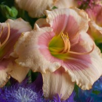 Daylily 'Exotic Candy' Photo courtesy of Walters Gardens