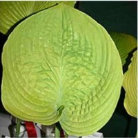 Hosta 'Fat Cat' photo courtesy of Q and Z Nursery