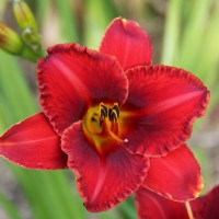 Daylily 'Fire Chief Nicholas' photo Whitehouse Perennials Nursery and Display Gardens