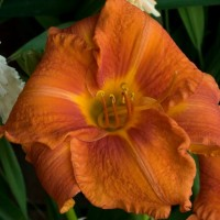 Daylily 'Fire King' photo Whitehouse Perennials Nursery and Display Gardens