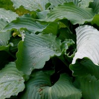 Photo of Hosta 'Fleet Week' courtesy of Naylor Creek