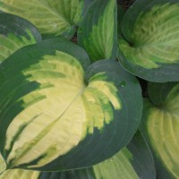 photo of Hosta 'Forbidden Fruit' courtesy of Naylor Creek Nursery