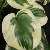 Hosta 'Fragrant Queen' Photo courtesy of Walters Gardens
