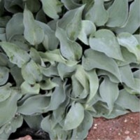 Hosta 'Gemstone' photo courtesy of Q and Z Nursery