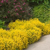 Genista 'Bangle' photo courtesy of Proven Winners