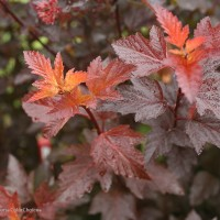 Physocarpus 'Ginger Wine' photo courtesy of Proven Winners