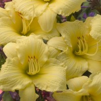 Daylily 'Going Bananas' Photo courtesy of Walters Gardens