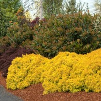 'Golden Nugget' Barberry photo courtesy of Monrovia