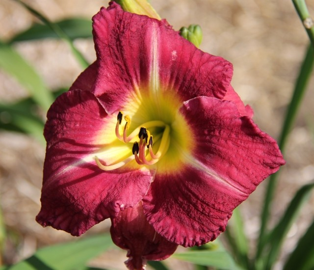Daylily 'Grape Jewel' photo Whitehouse Perennnials Nursery and Display Gardens
