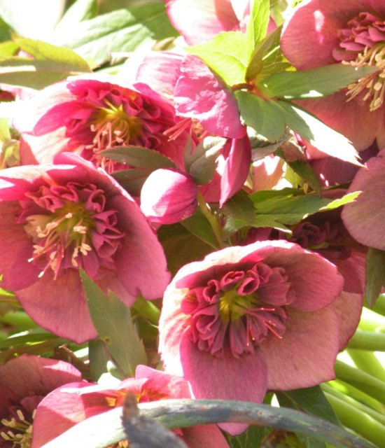 Helleborus hybrids 'Sunshine Strain' photo Suzanne Patry