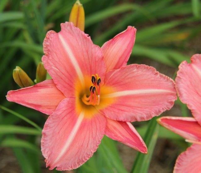 Daylily 'Heron' photo Whitehouse Perennials Nursery and Display Gardens