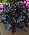 heuchera_black_pearl_1.jpg