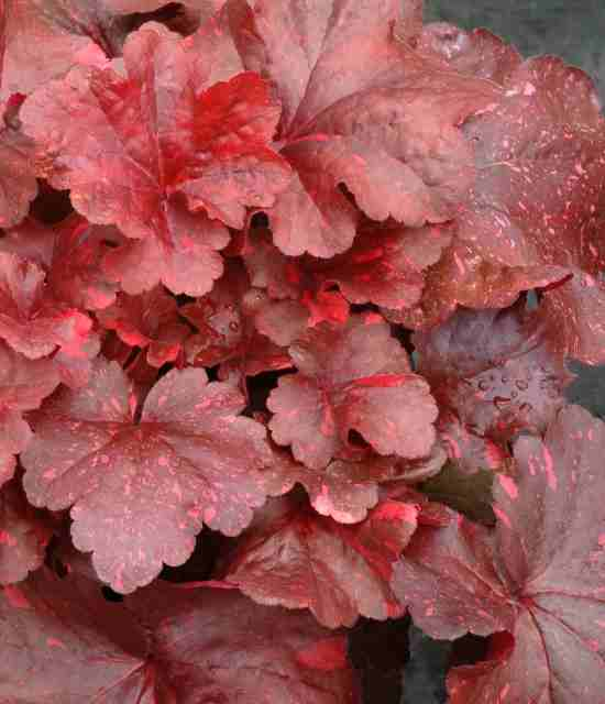 Heuchera 'Galaxy' photo courtesy of Terra Nova Nurseries
