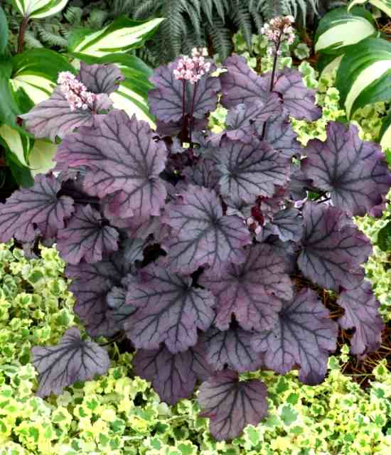 Heuchera Sugar Berry photo courtesy of Terra Nova Nurseries