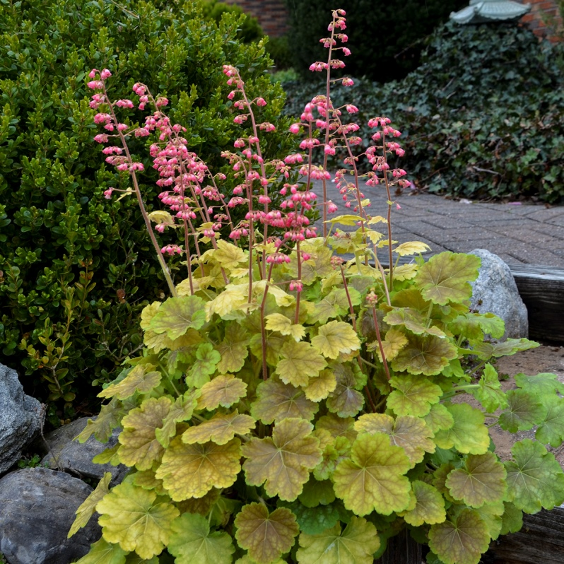 Heuchera 'You're So Vein' courtesy of Walters Gardens