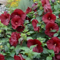 photo of Hibiscus 'Heart Throb' courtesy of Walters Gardens