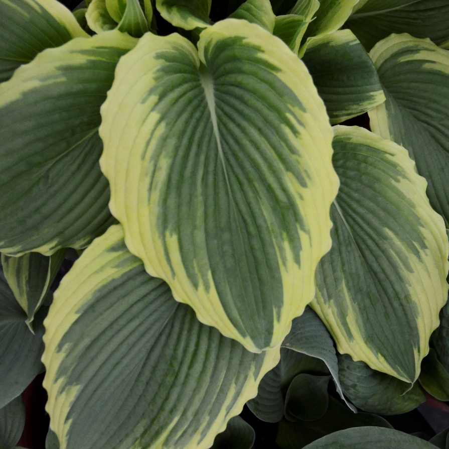 Photo of Hosta 'Bridal Falls' courtesy of Walters Gardens