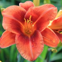 Daylily 'Hot Town' photo Whitehouse Perennials Nursery and Display Gardens