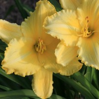 Daylily 'Ida Duke Miles' photo Whitehouse Perennials Nursery and Display Gardens
