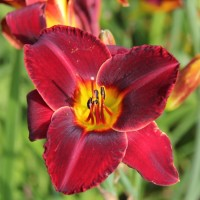 Daylily 'Illini Jackpot' photo Whitehouse Perennials Nursery and Display Gardens