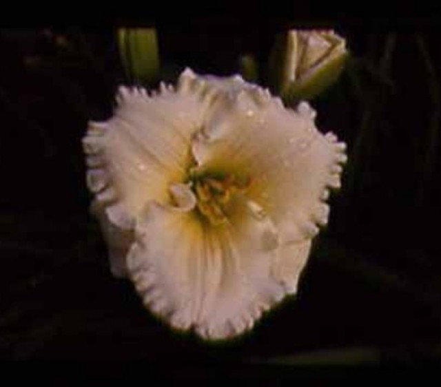 Daylily 'Indy Cameo' photo Whitehouse Perennials Nursery and Display Gardens