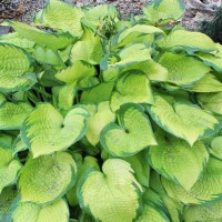 photo of Hosta 'Inniswood' courtesy of Sandy Hanson