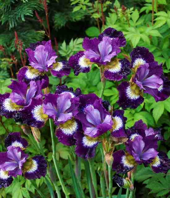 Iris 'Contrast in Styles' photo courtesy of Walters Gardens