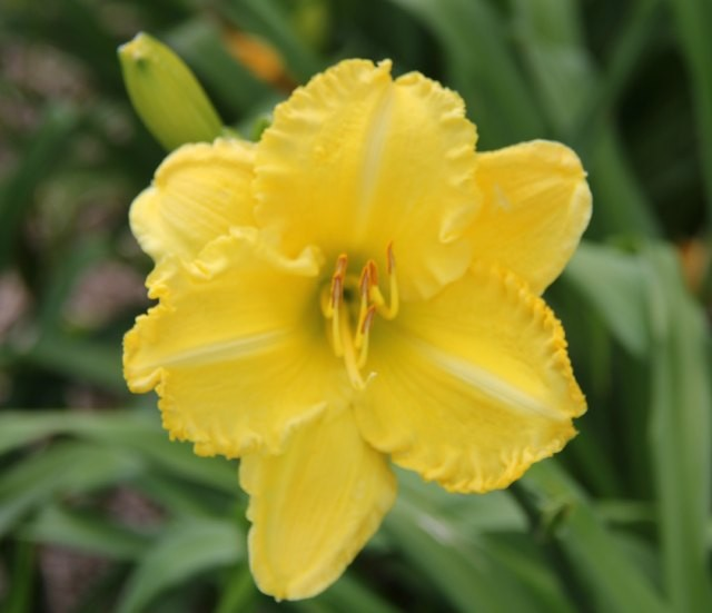 Daylily 'Isle of Capri' photo Whitehouse Perennials Nursery and Display Gardens