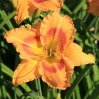 Daylily 'Jedi's Return' photo Whitehouse Perennials Nursery and Display Gardens