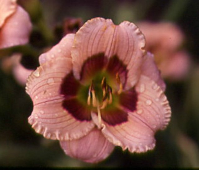 Daylily 'Jeremy' photo Whitehouse Perennials Nursery and Display Gardens