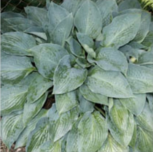 Hosta 'Jetstream' photo courtesy of Q and Z Nursery