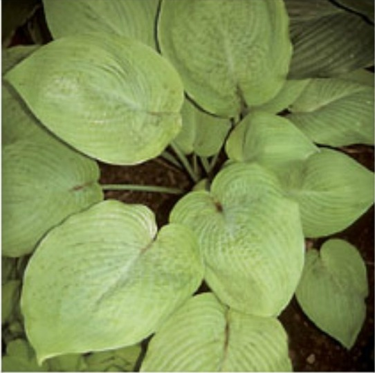 Hosta 'Jim Cooper' Photo courtesy of Q and Z Nursery