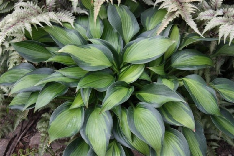 Hosta 'June Spirit'  Photo courtesy of Walters Gardens