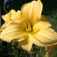 Daylily 'Just Watch' photo Whitehouse Perennials Nursery and Display Gardens