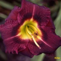 Daylily 'Killer' photo Whitehouse Perennials Nursery and Display Gardens