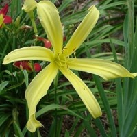 Daylily 'Kindly Light' photo Whitehouse Perennials Nursery and Display Gardens