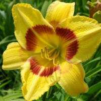 Daylily 'King George' photo Whitehouse Perennials Nursery and Display Gardens