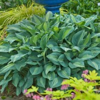 Hosta 'Kiwi Full Monty' Photo courtesy of Walters Gardens