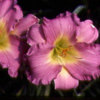 Daylily 'Lavender Passion' photo courtesy of Walters Gardens