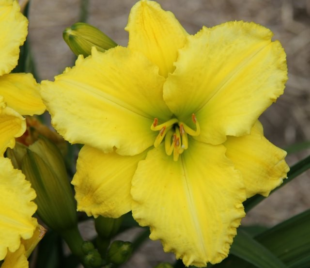 Daylily 'Lemon Zinger' photo Whitehouse Perennials Nursery and Display Gardens